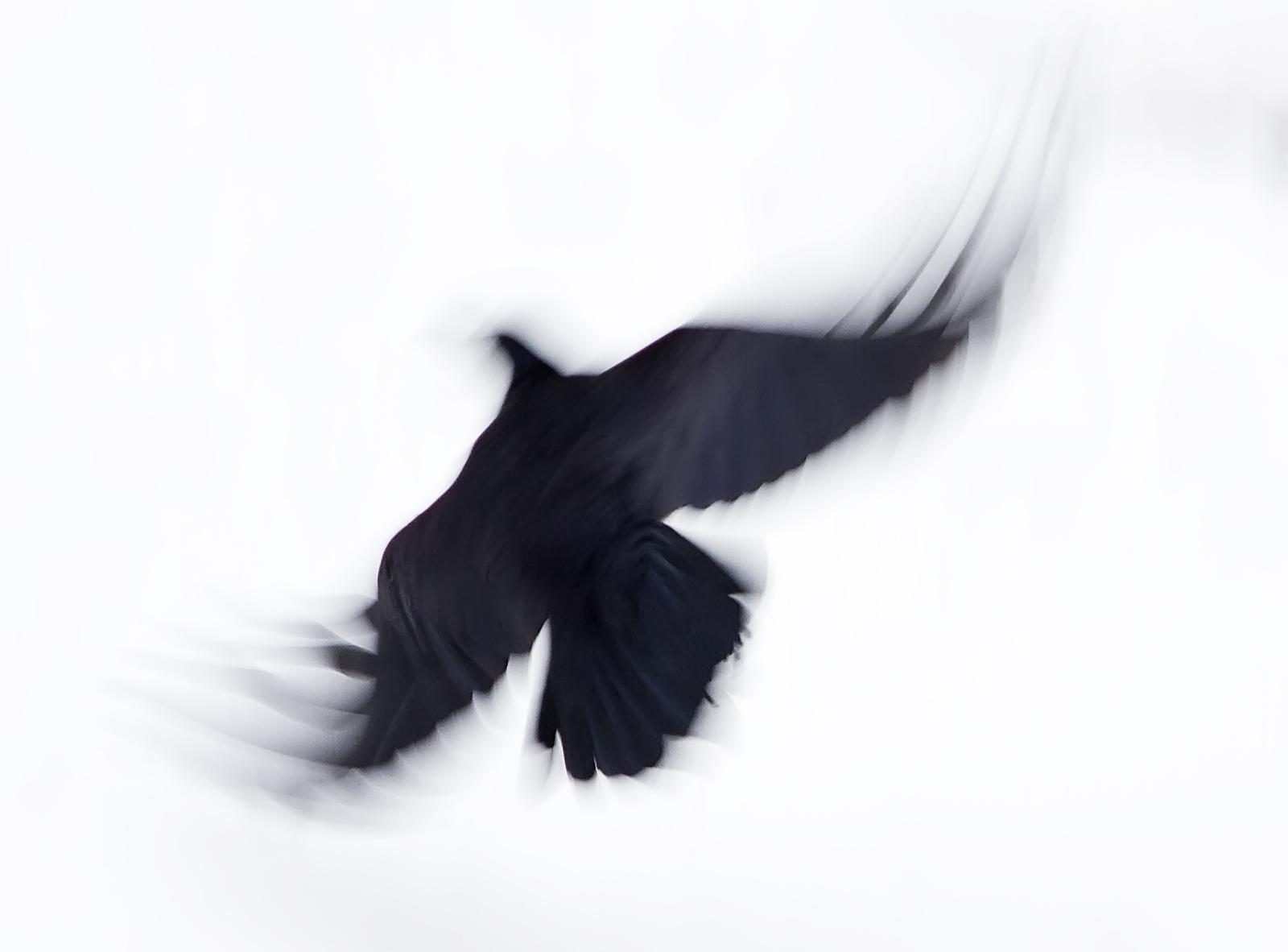Pasăre neagră care cade în zbor